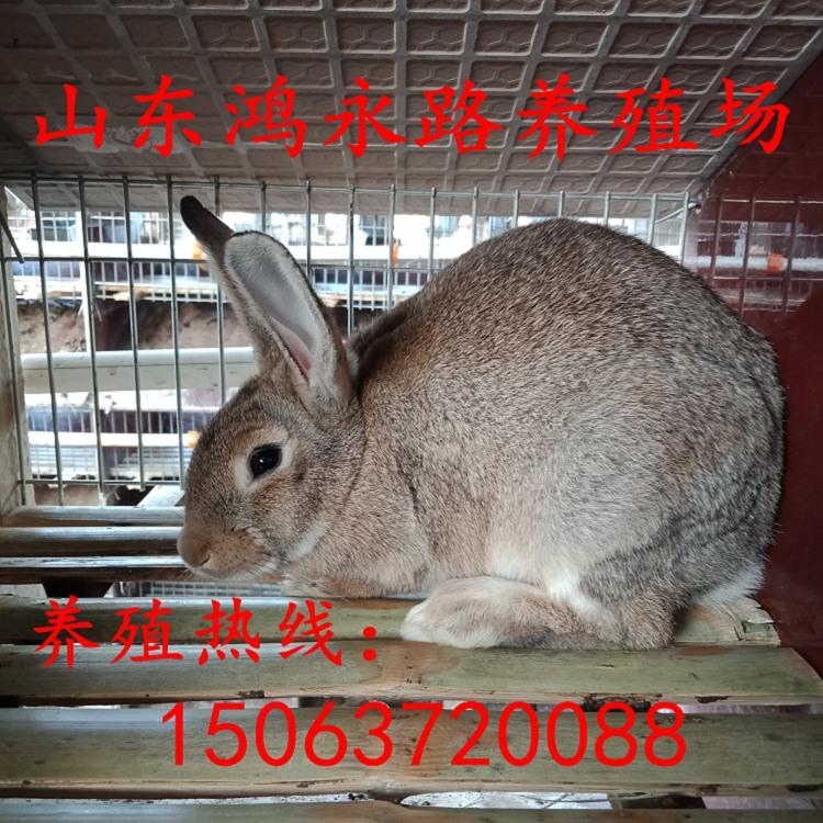 随州野兔散养场地要求杂交野兔养殖市场前景和利润分析