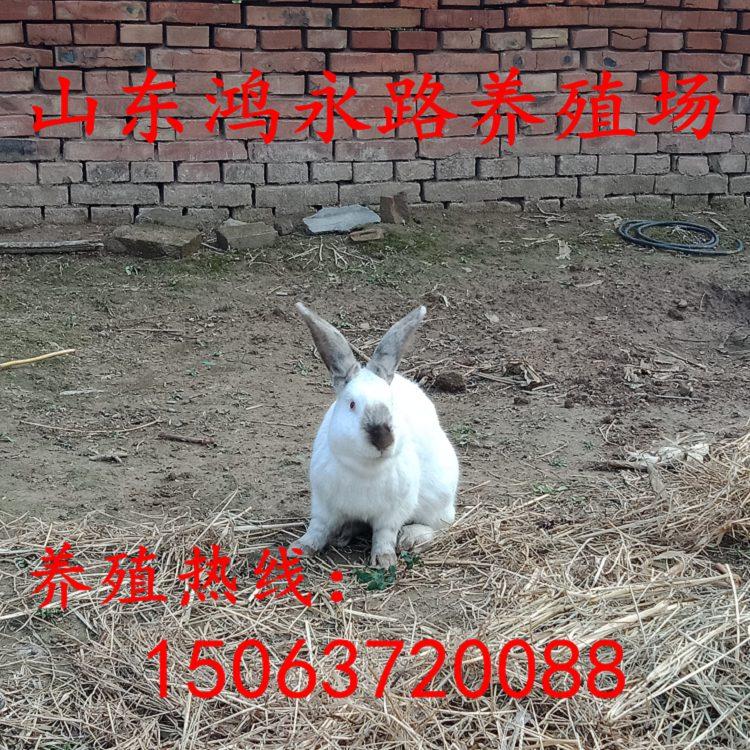 台州纯种野兔利润杂交兔养殖比利时杂交野兔价格肉兔养殖场