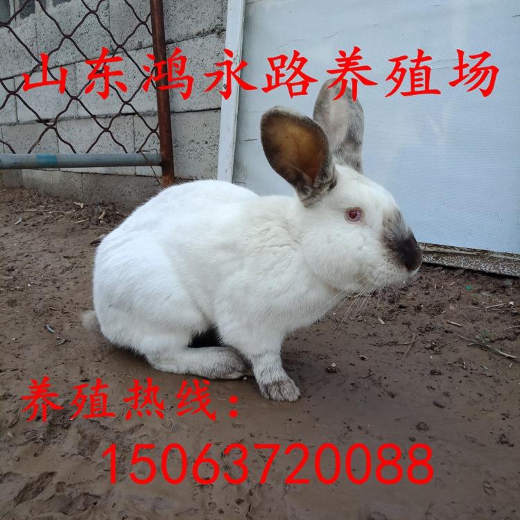 延安现在养殖杂交野兔利润多少市场价格多少钱一斤