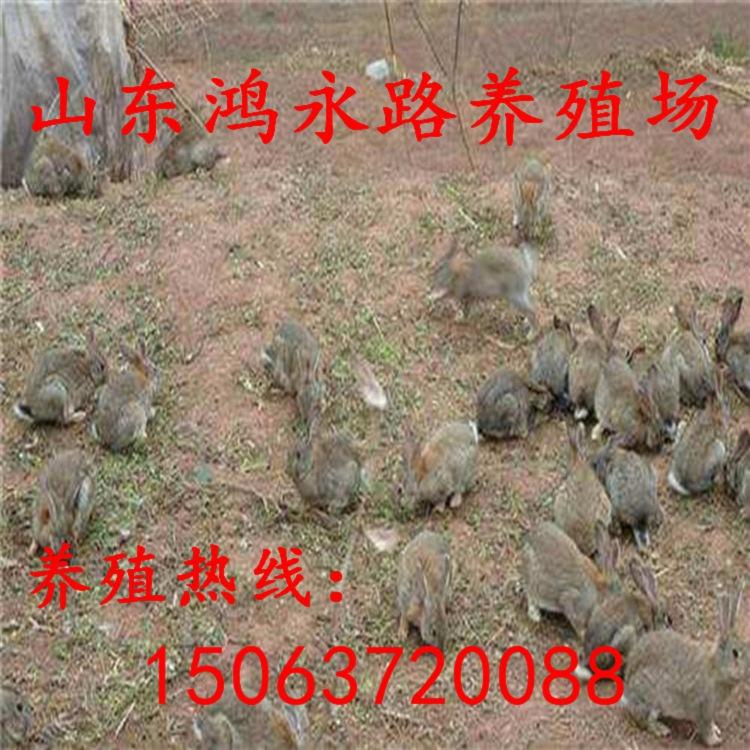延安杂交野兔散养利润可观、杂交野兔小兔苗批发价格多少钱一斤