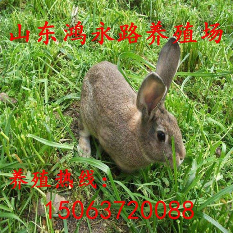 珠海今年杂交野兔种兔出售的价格多少钱一只、回收兔子多少钱一斤