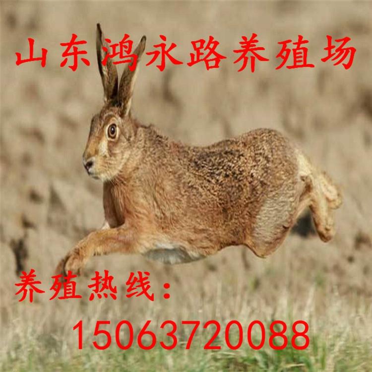 随州现在市场上杂交野兔多少钱一斤、杂交野兔养殖利润及行情分析