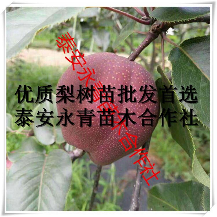 0.5公分粗爱宕梨苗市场需求怎么样怎么卖