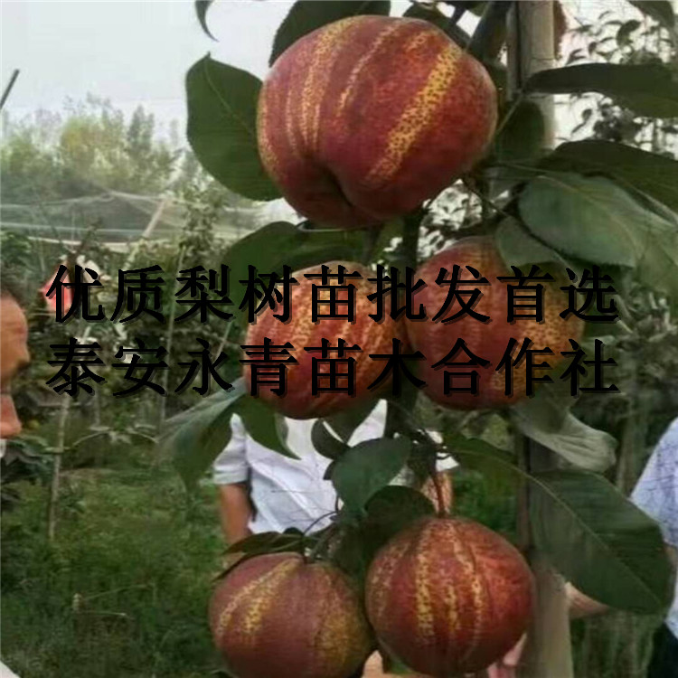 早酥红梨苗种植要求咨询: