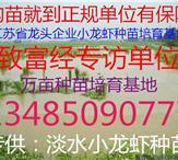 龙虾苗培育基地 小龙虾苗批发 小龙虾苗多少钱一斤