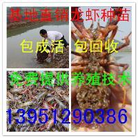 云南小龙虾苗多少钱一斤云南哪里有龙虾苗卖