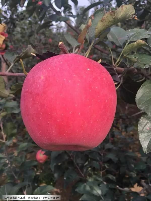 寒富苹果苗木基地、矮化寒富苹果苗正宗