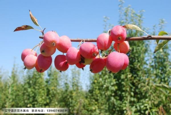 两刀寒富苹果树苗、地径3公分寒富苹果树苗新品种咨询