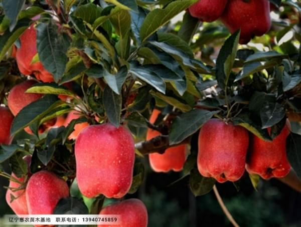 两刀寒富苹果苗、一刀寒富苹果树苗惠农繁育基地