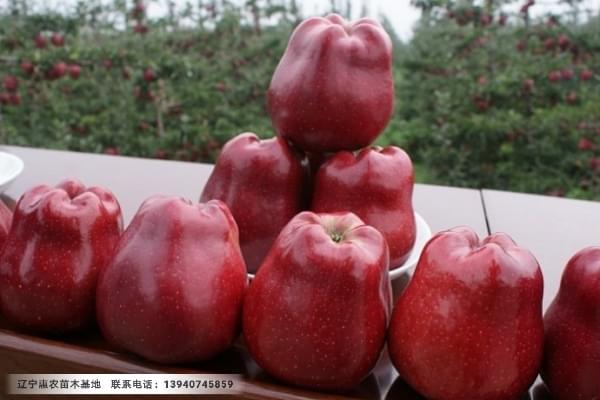 3公分寒富苹果苗、三公分寒富苹果苗繁育基地