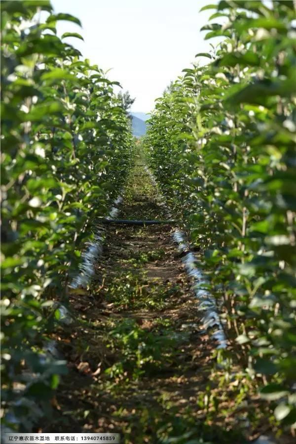 寒富苹果苗木基地、地径三公分寒富苹果树苗货源品质保证