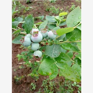 4年生沃农蓝莓苗哪里报价便宜