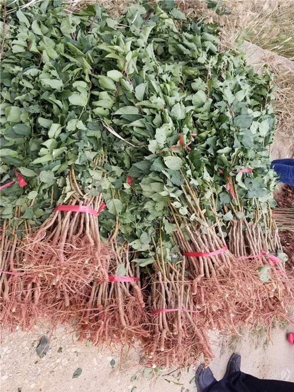 0.7公分粗红丰77杏树苗价格