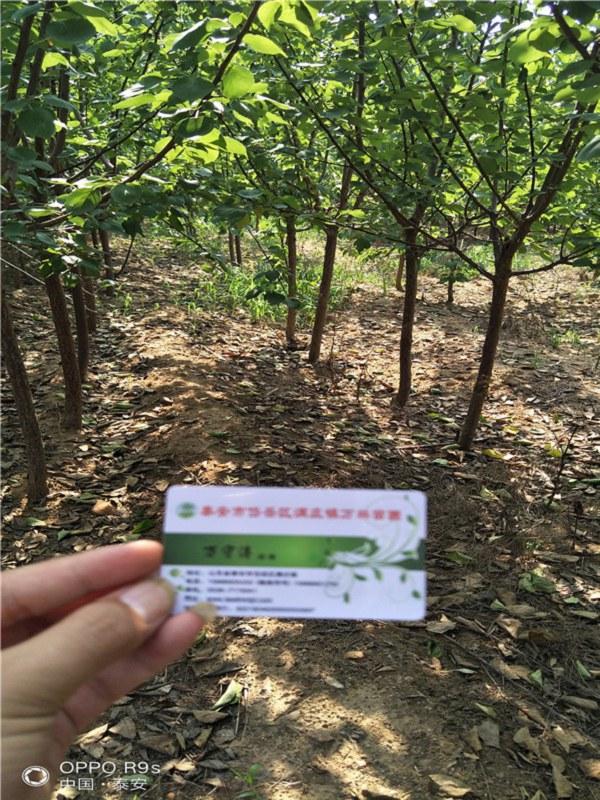 50公分高麦黄杏杏树苗哪里有