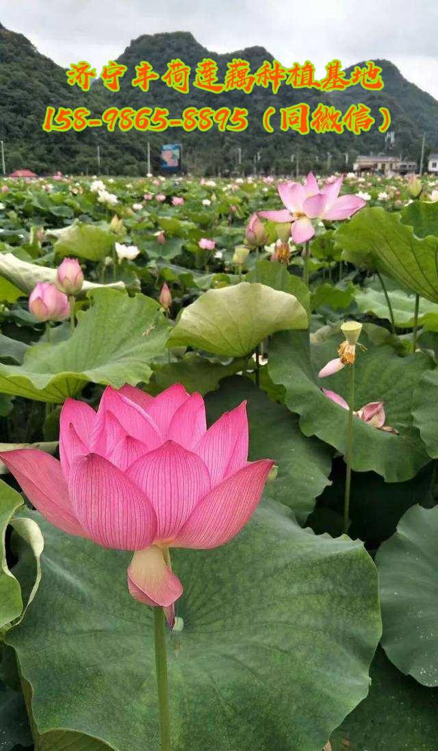 渭南观赏莲藕种植对水质的要求