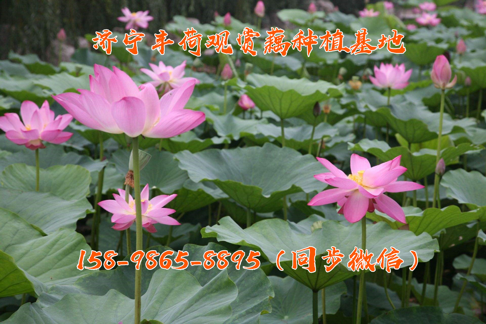 十堰观赏莲种苗多少钱一株