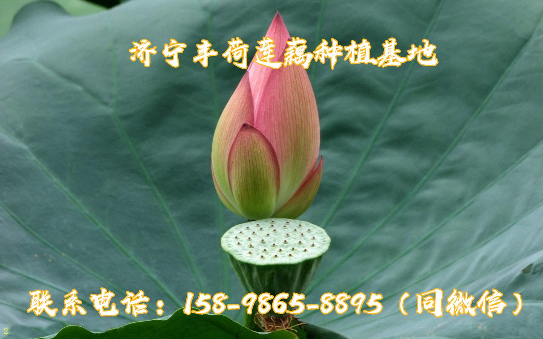 天门观赏莲藕一亩地需要多少成本