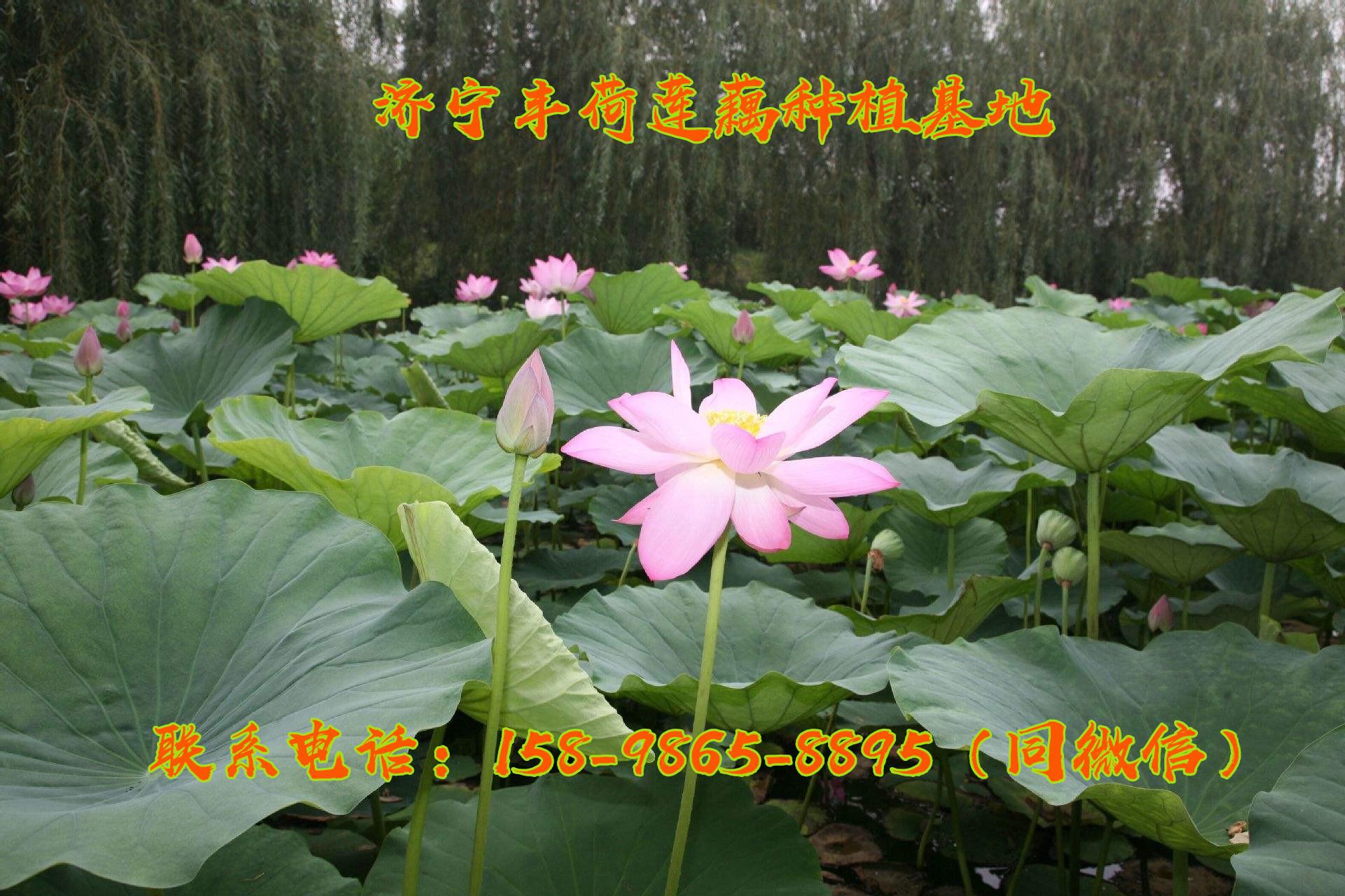 浙江观赏藕种植时间