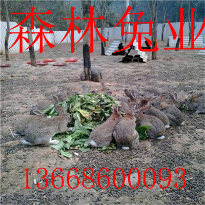 杂交野兔今日市场价格是多少