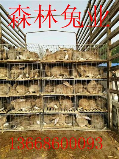 哪里有免费加盟的大型杂交野兔养殖基地