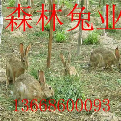 投资少的养殖项目养殖杂交野兔免费培训欢迎加盟