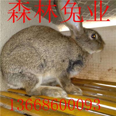 今日杂交野兔市场行情走势分析养殖项目
