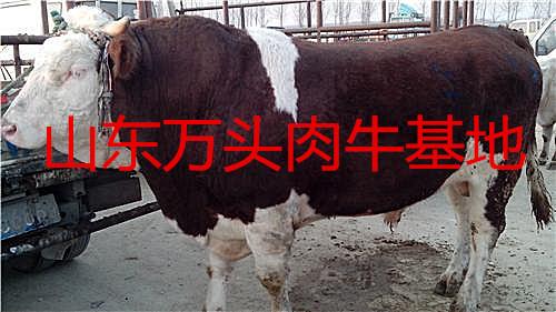 �B殖肉牛��X��