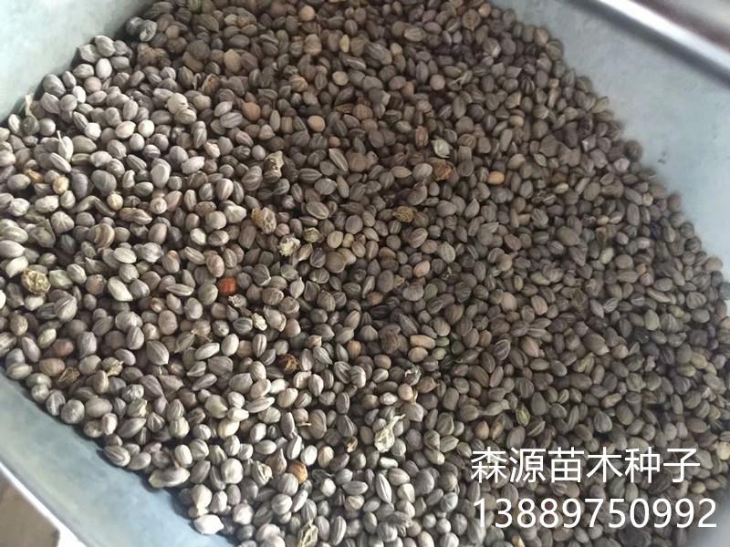 辽宁省红瑞木种子