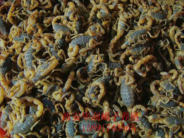 临汾蝎子的搜集养蝎子有成功的吗养殖蝎子技术