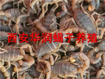 山西农村生态养蝎陕西西安蝎子养殖野外蝎子养殖怎样建窝