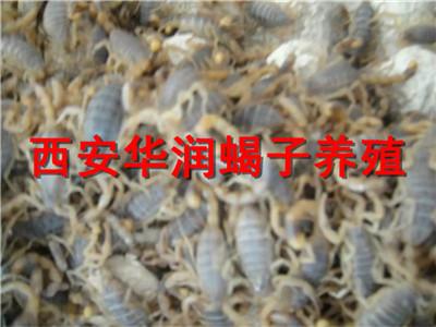 庆阳人工蝎子养殖蝎子养殖市场蝎子养殖技术宝典
