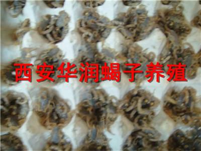 金昌蝎子养殖销售宁夏蝎子养殖全国蝎子养殖基地