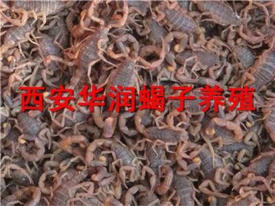 咸�蝎子�B殖病害蝎子�B殖�麴B蝎子需要投�Y多少