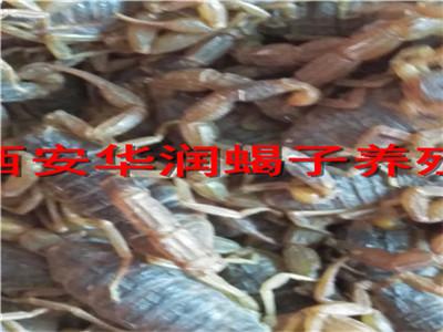 吕梁生态蝎子养殖图片蜈蚣养殖基地哪里有野生蝎子为什么养不活