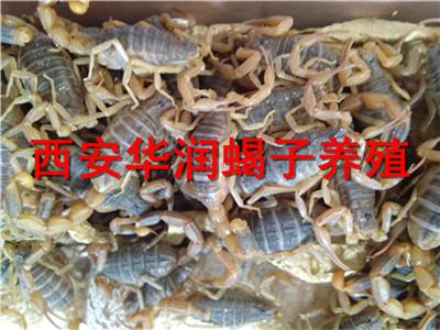 天水北方蝎子养殖生态蝎子养殖场野生蝎子养殖方法技术