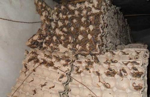成都怎�羽B殖蝎子蝎子�B殖加盟蝎子�B殖