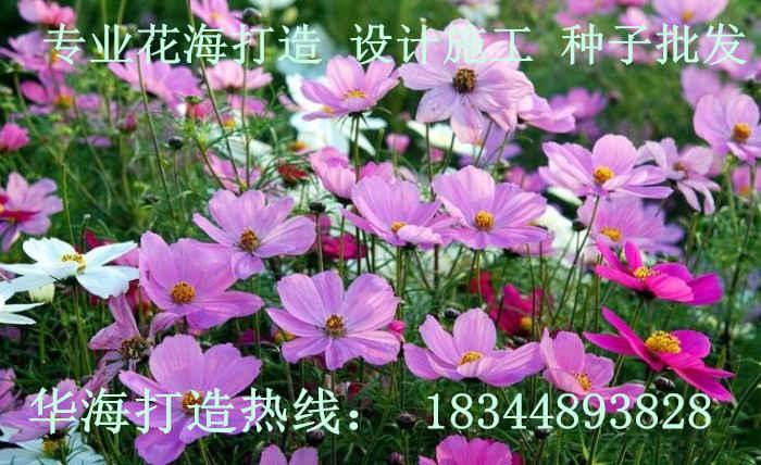 四川省绵阳市波斯菊种子哪里有卖