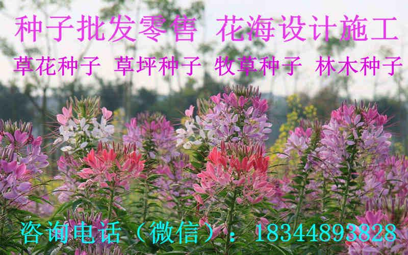 甘肃省甘南藏族自治州波斯菊种子哪里有卖