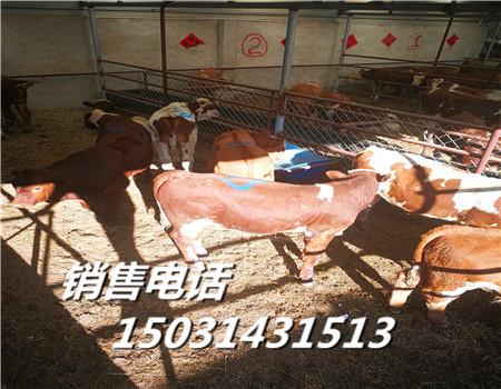 肉牛犊河北黄牛市场价格行情