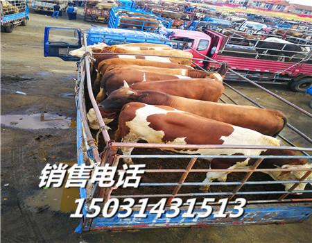 江西肉牛犊价格/批发市场