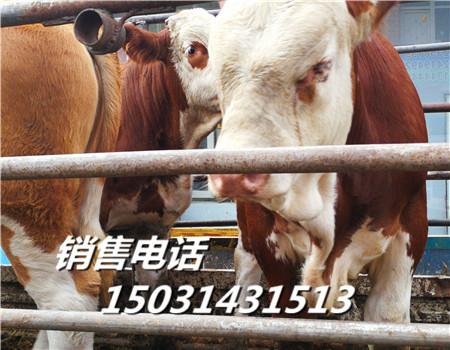 青海牲畜市场肉牛犊自选集市