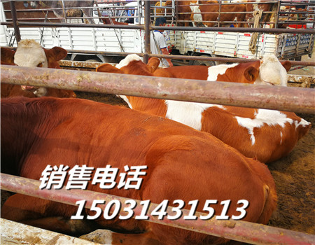 西门塔尔肉牛价格河北西门塔尔肉牛市场价格
