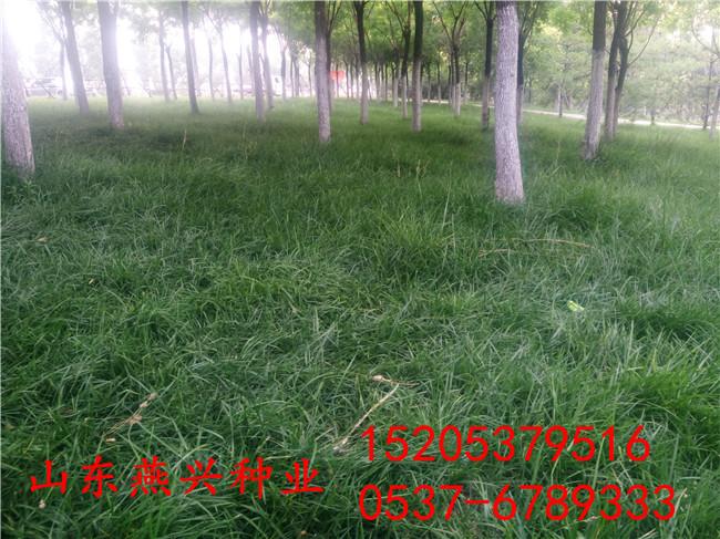 供应郴州市绿化草坪种子种什么草