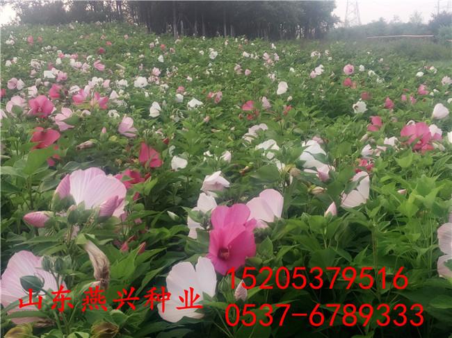 仙桃市4季常青草籽播种时间