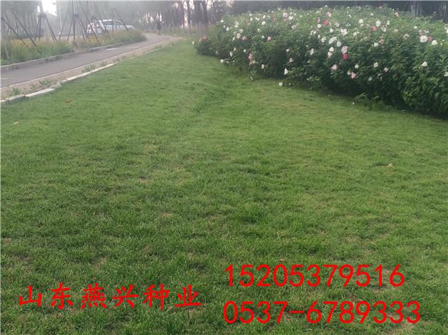 四川南充工程护坡草种适宜用哪种草种子怎么种植