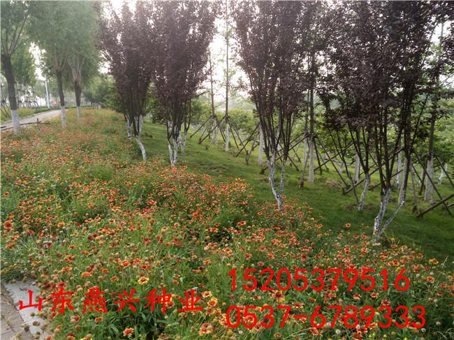 道路护坡的草籽灌木种子批发多少钱咨询