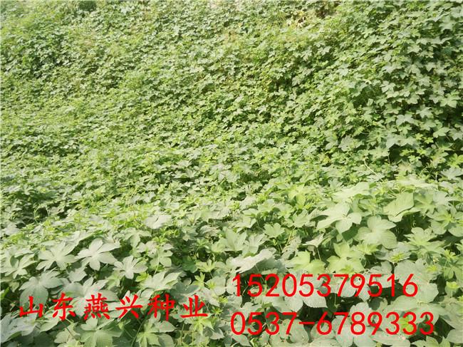 陕西延安种植护坡草种哪个成活率高什么时候播种