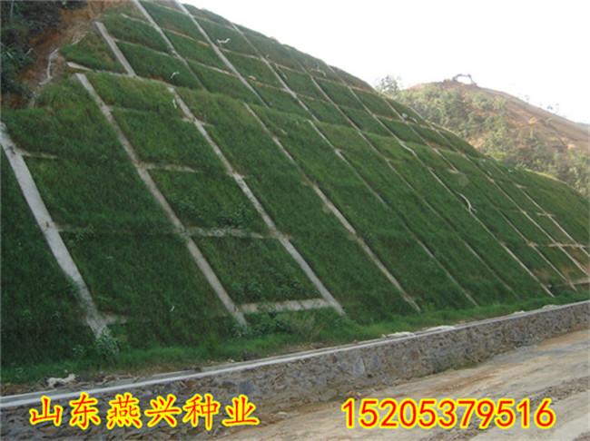 黑龙江佳木斯山坡护坡能种什么草种草籽怎么种