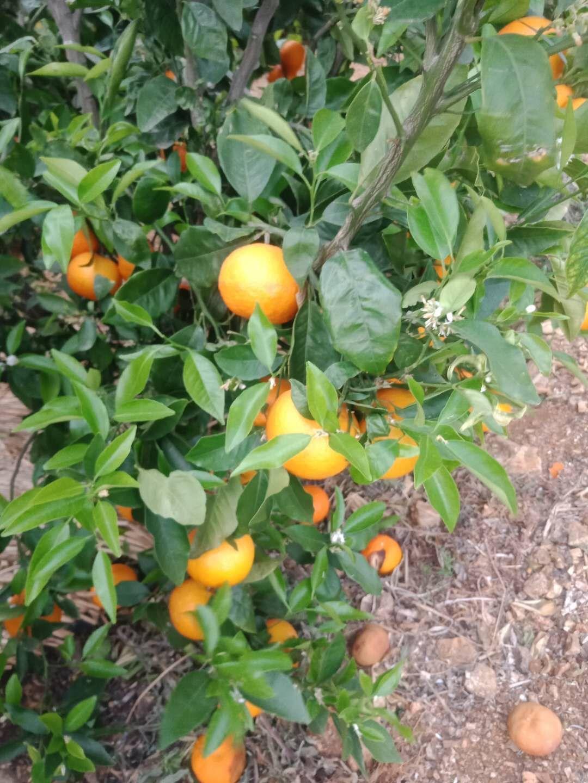 云南柑桔供应