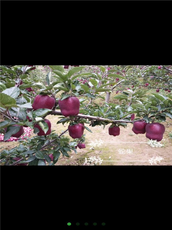中秋王苹果苗多少钱/三年生中秋王苹果苗
